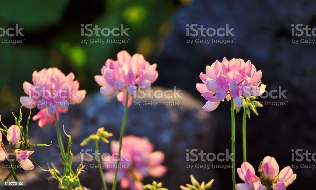 Pretty pink meadow flowers, Crown vetch. stock photo