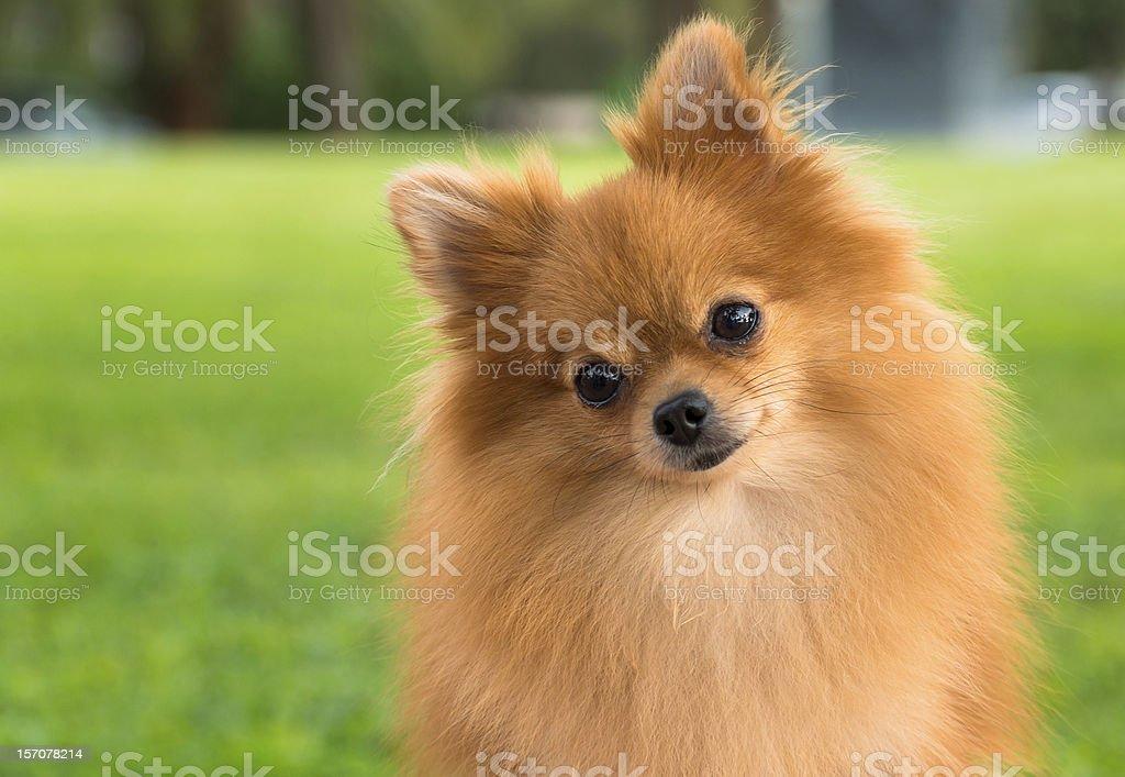 A pretty pomeranian female dog on a blurry grass background stock photo