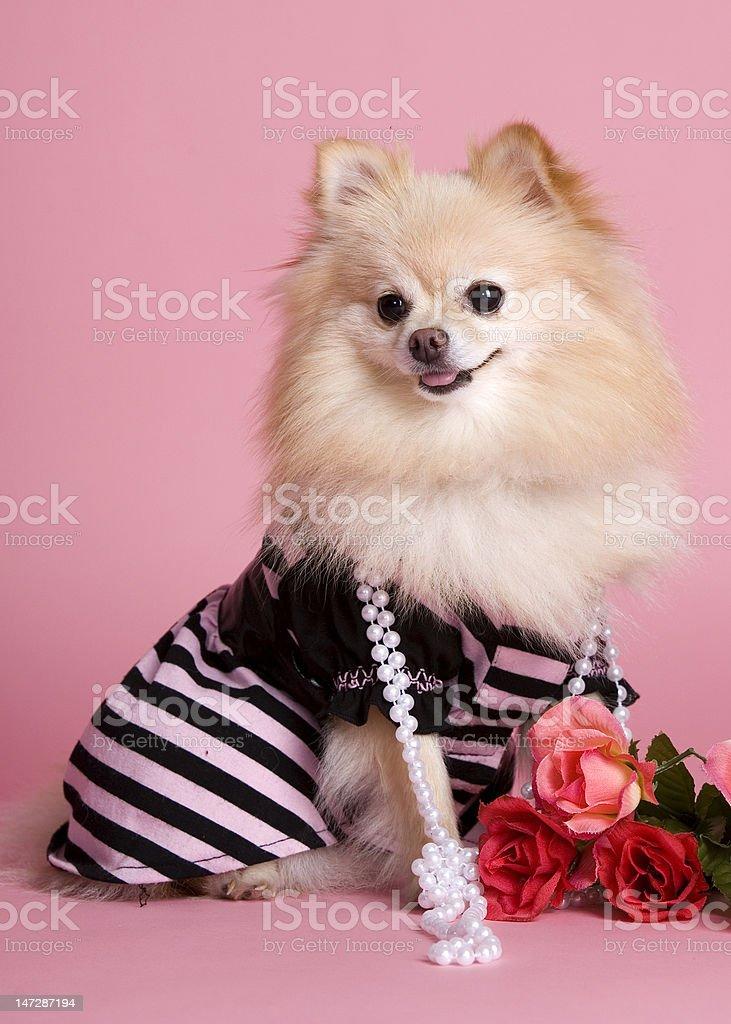Pretty Pomeranian in Pink royalty-free stock photo