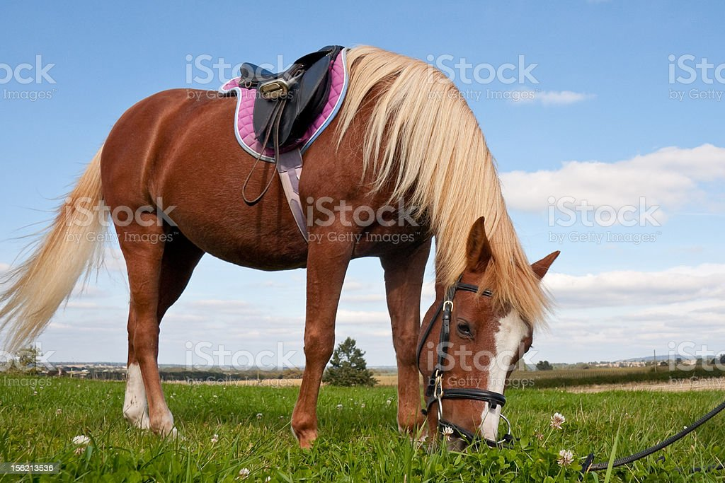 Pretty pony grazing whilst tacked up. royalty-free stock photo