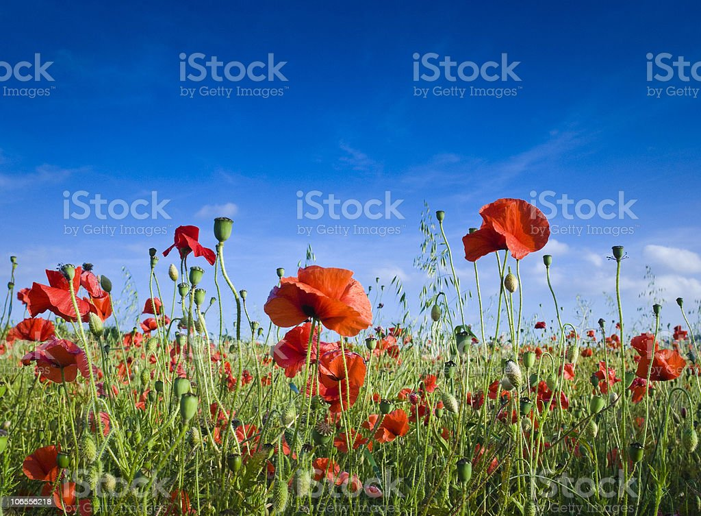 Pretty poppies royalty-free stock photo