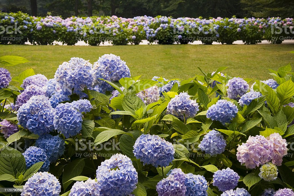 Pretty purple Hydrangea bushes with more in the distance royalty-free stock photo