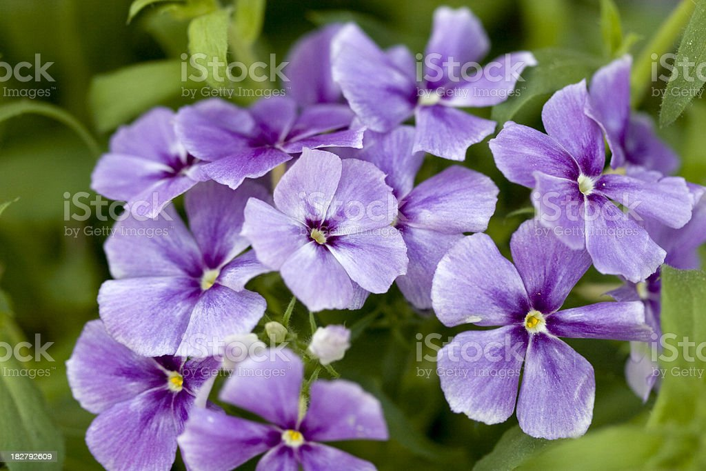 Pretty Purple Phlox stock photo