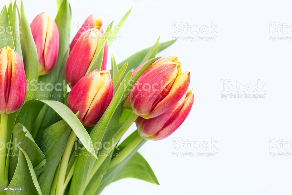 Pretty Red and Yellow Tulips on White Background stock photo