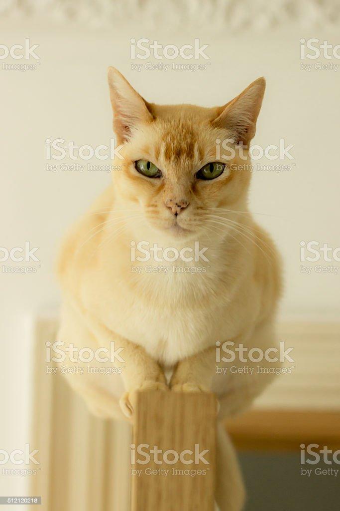 Pretty red burmese cat balanced on top of a door stock photo