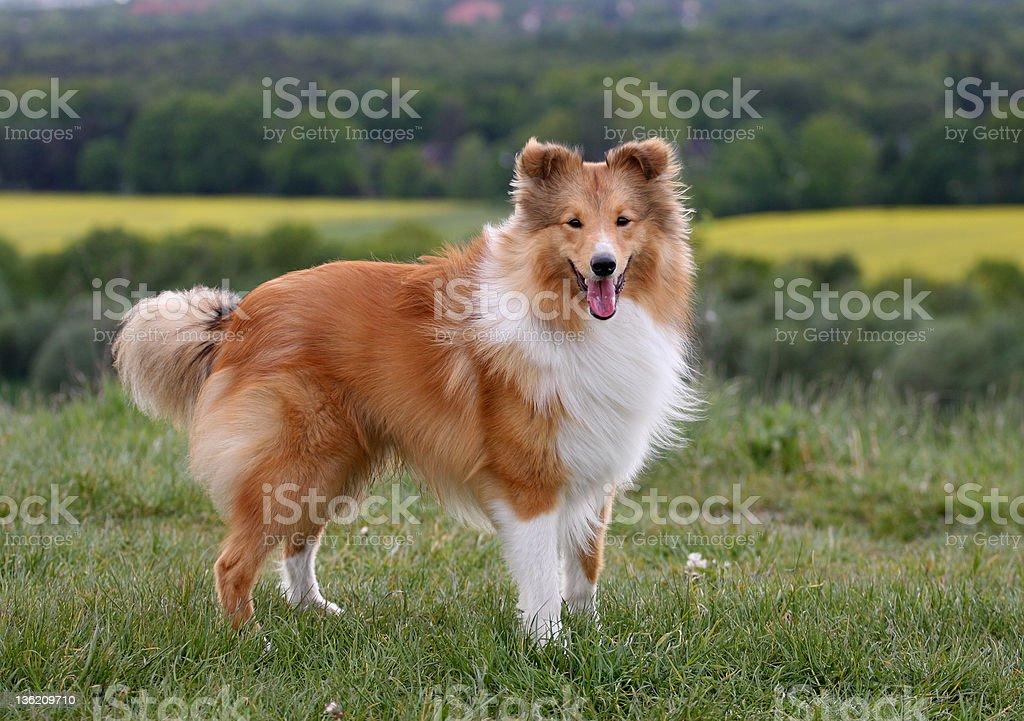 Pretty Shetland Sheepdog stock photo