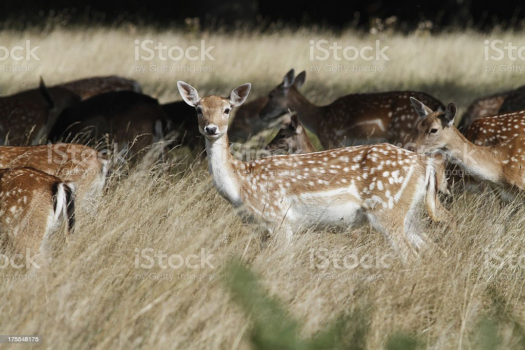 Pretty female fallow deer Dama-dama with grazing herd stock photo