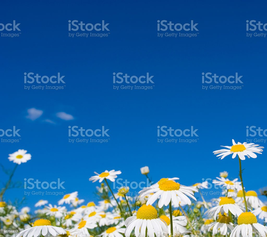Pretty summer field of daisies with blue sky stock photo