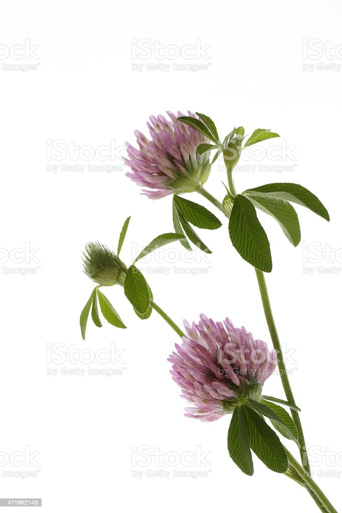 Pretty Trifolium pratense stock photo