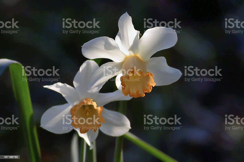 Twin narcissi in dappled sunlight royalty-free stock photo