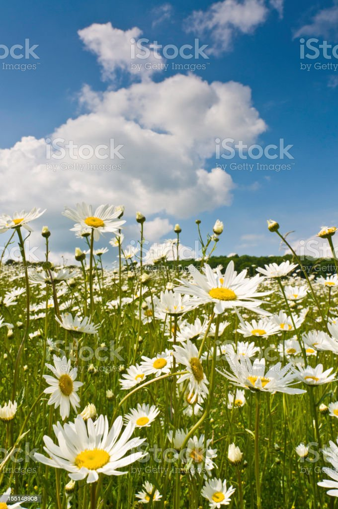 Pretty wild flowers in summer daisy meadow royalty-free stock photo