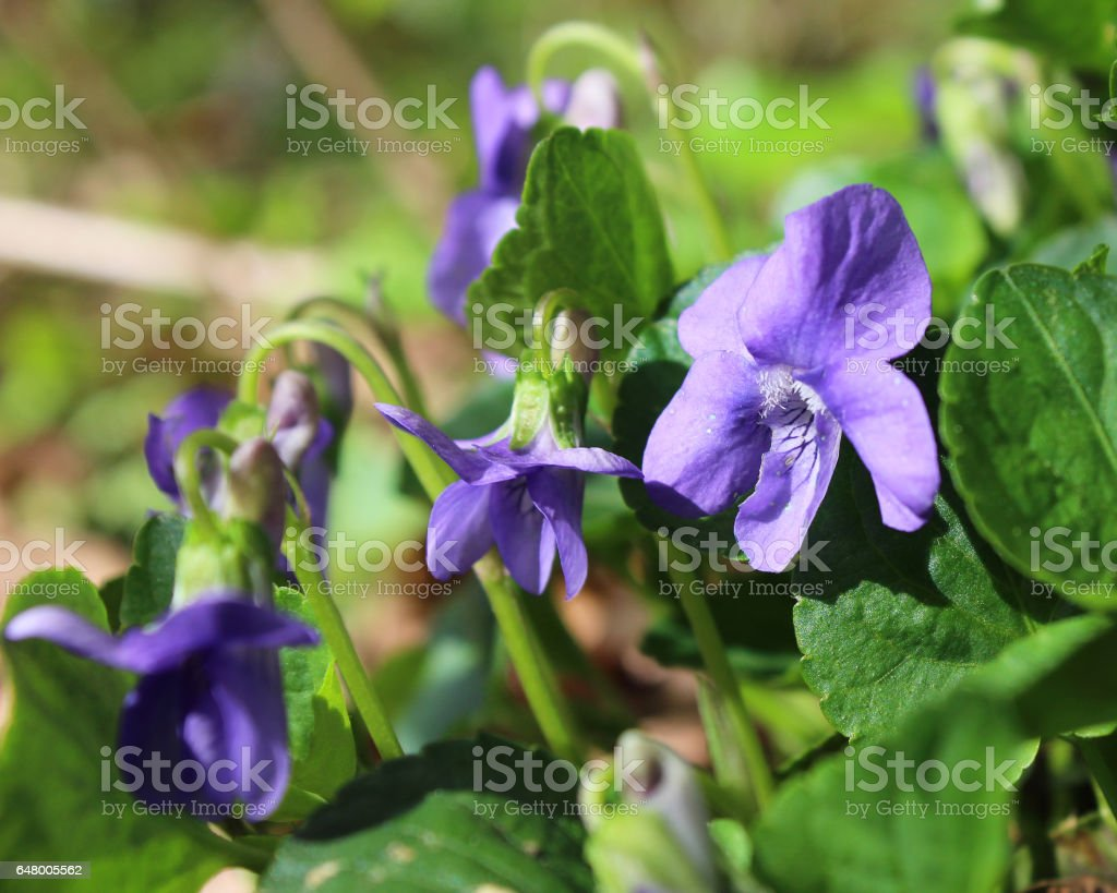 Pretty Wood Violets stock photo
