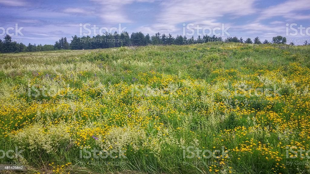 Pretty Yellow and White Wildflowers Cover Hill, Saratoga Battlefield, NY stock photo