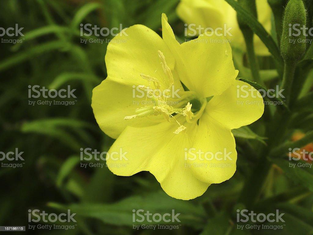 A pretty yellow evening primrose stock photo
