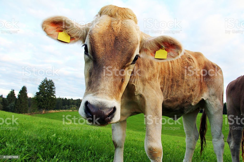 pretty young curious brown cattle on the pasture stock photo