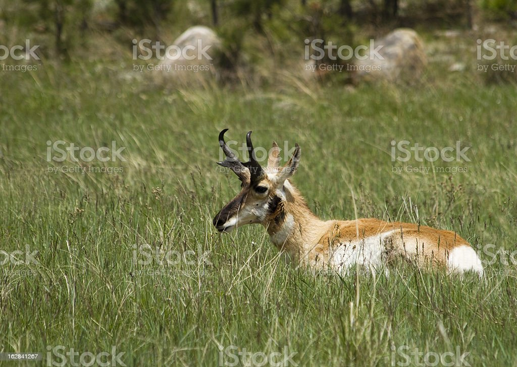 Prey in to the prairie royalty-free stock photo