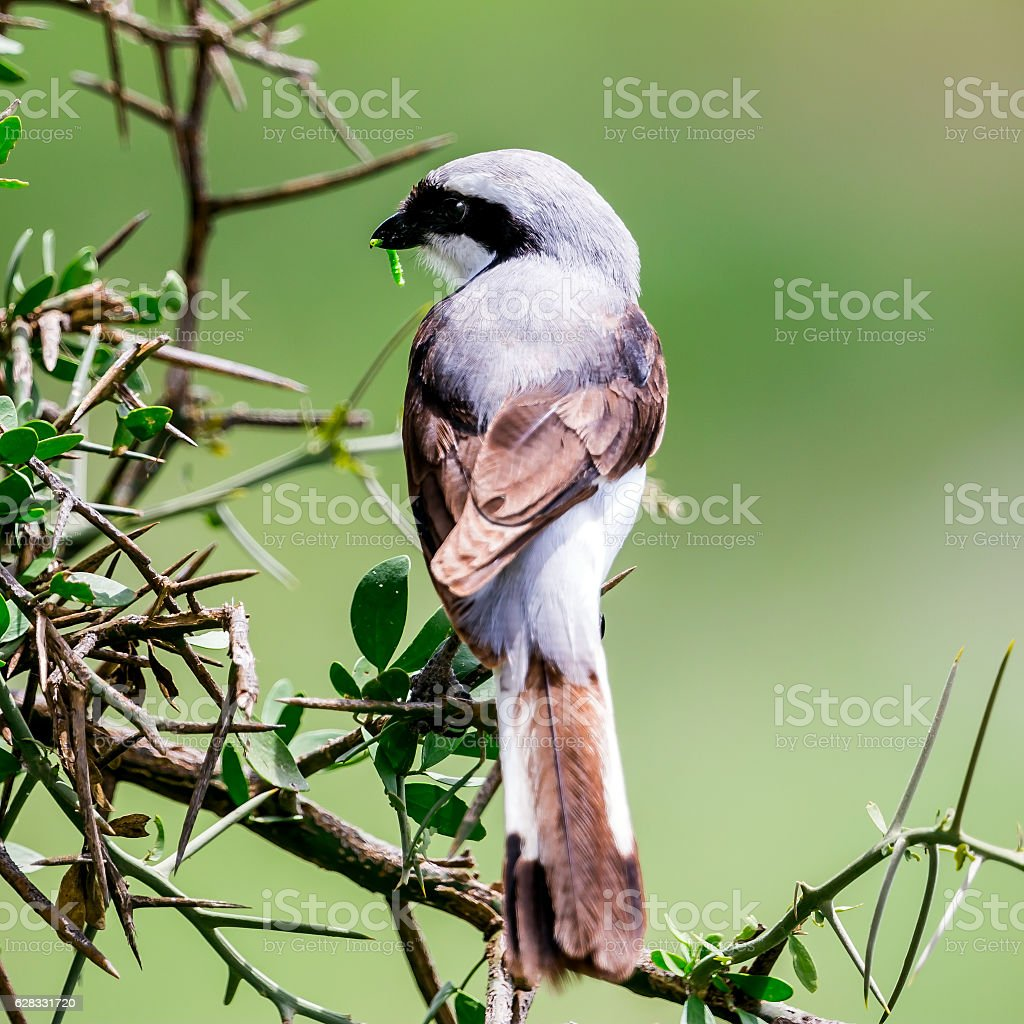 Preying - Grey Backed Fiscal Shrike (Lanius excubitoroides) with worm stock photo