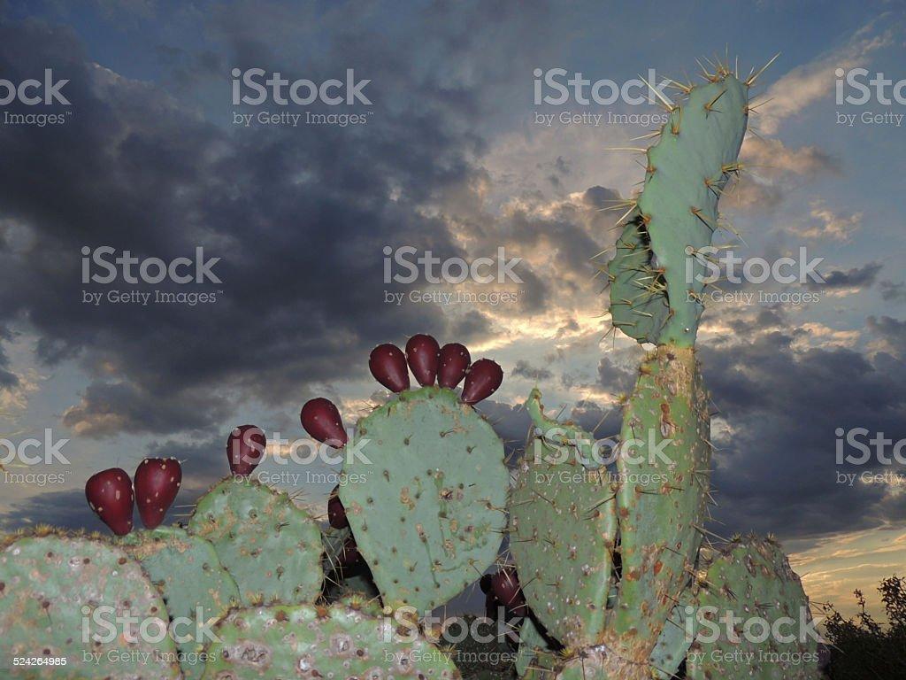Prickley Pear Cactus stock photo