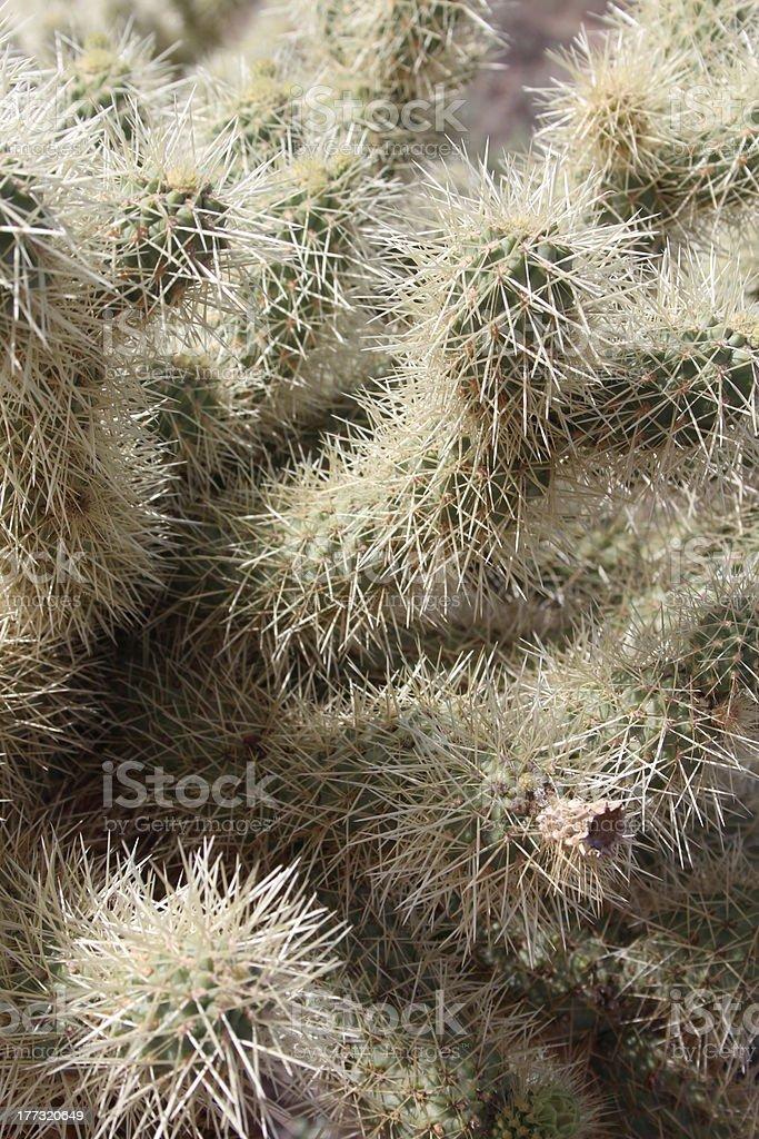 Prickly Arizona Cactus Closeup royalty-free stock photo