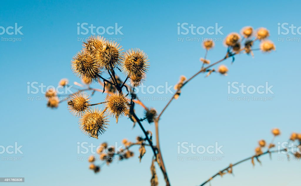 Prickly brown seed heads of lesser burdock stock photo
