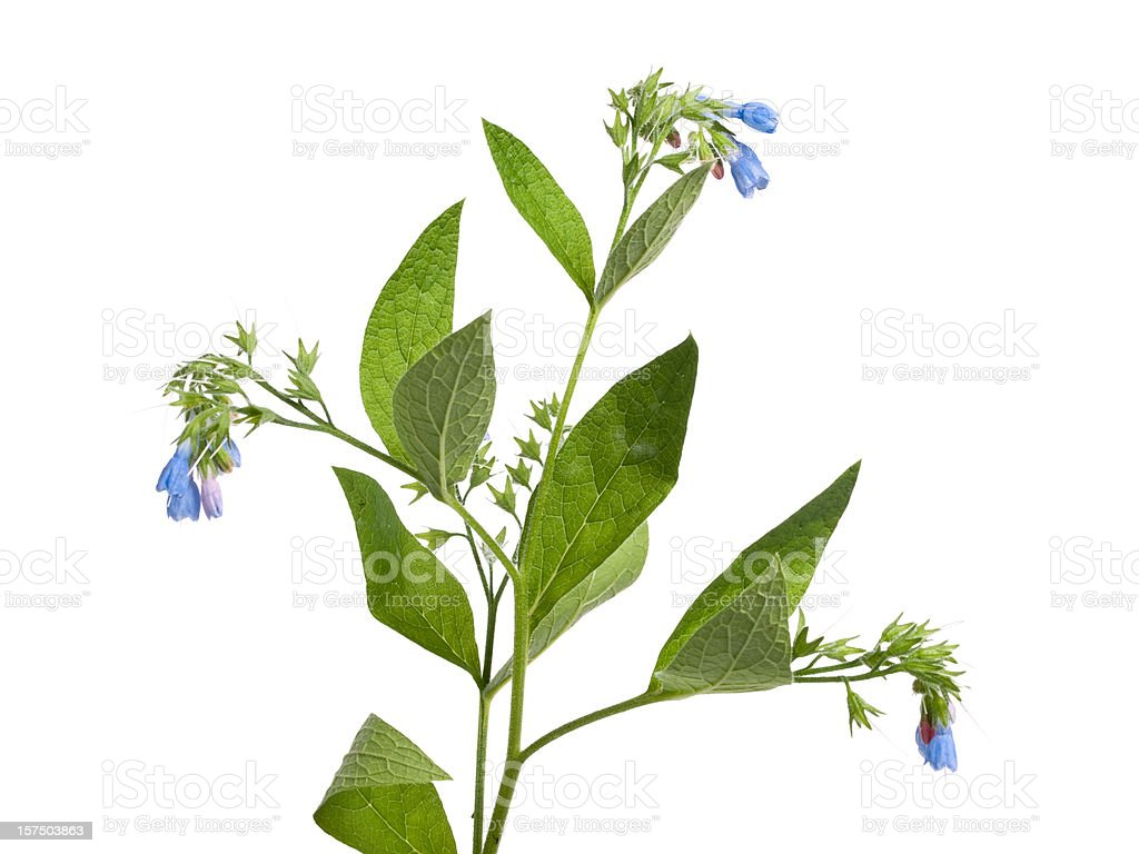 Prickly comfrey stock photo