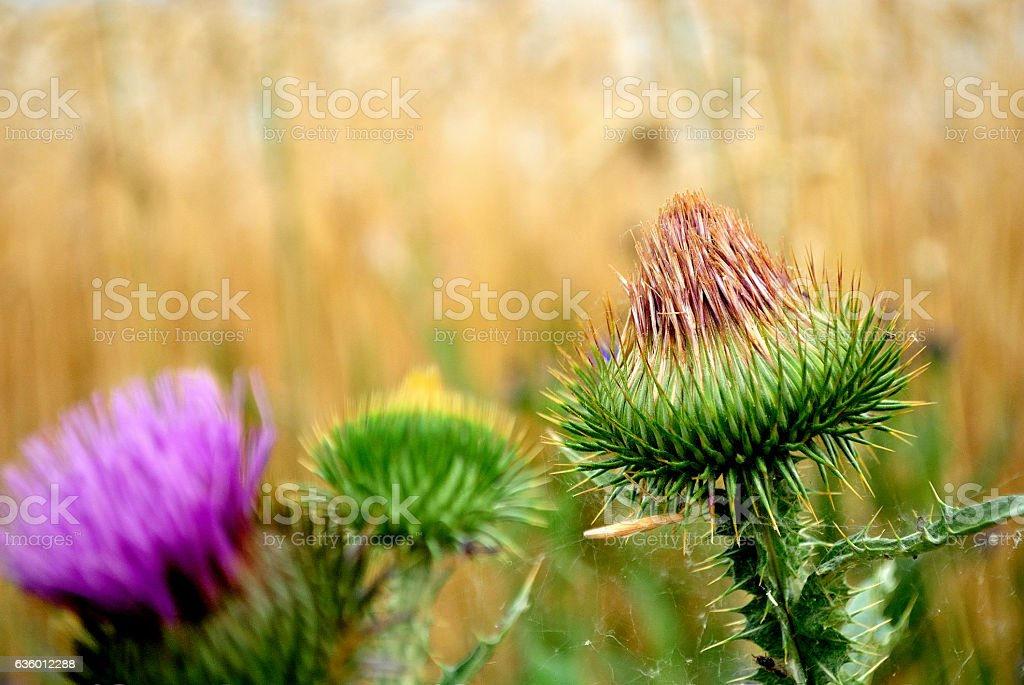 Prickly heads of Big burdock closed flower stock photo