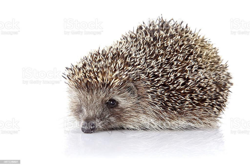 Prickly hedgehog royalty-free stock photo