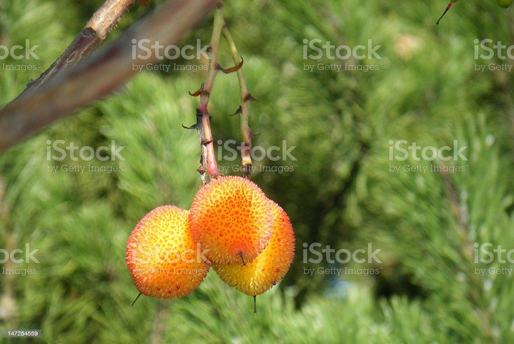 ウチなフルーツとナッツの木 ロイヤリティフリーストックフォト