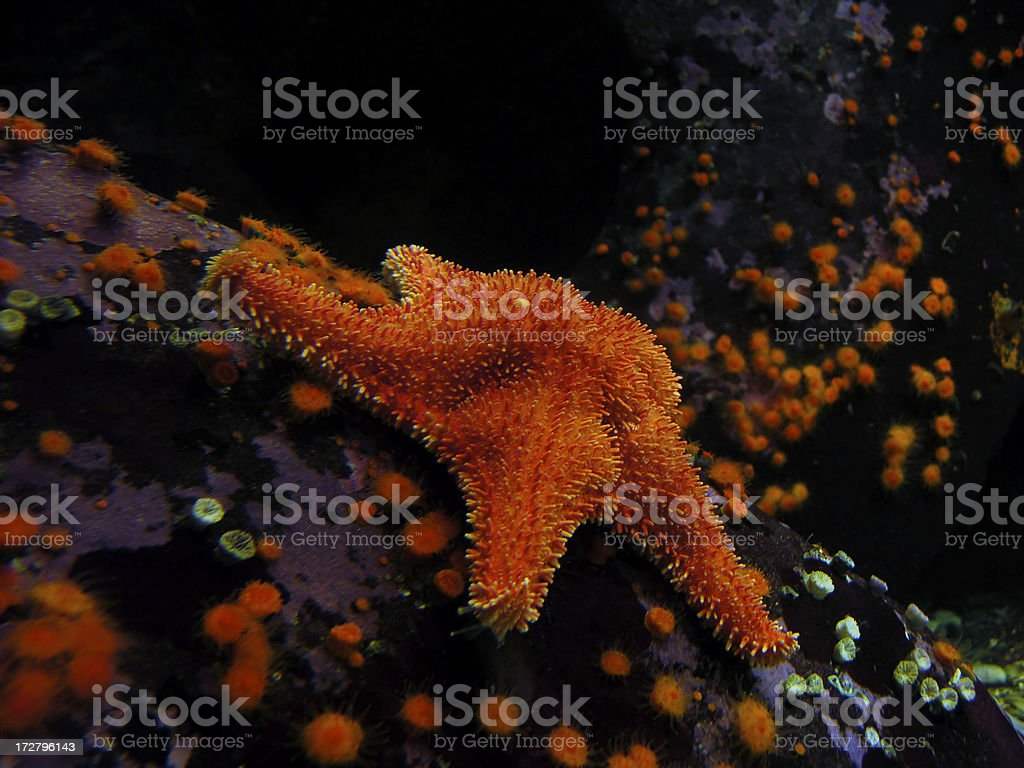 Prickly Orange Starfish stock photo