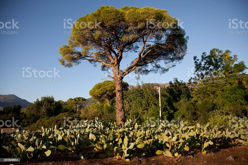 Prickly pear and pine tree stock photo