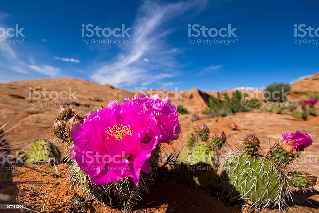 Prickly Pear Cactus Blooming in Desert stock photo