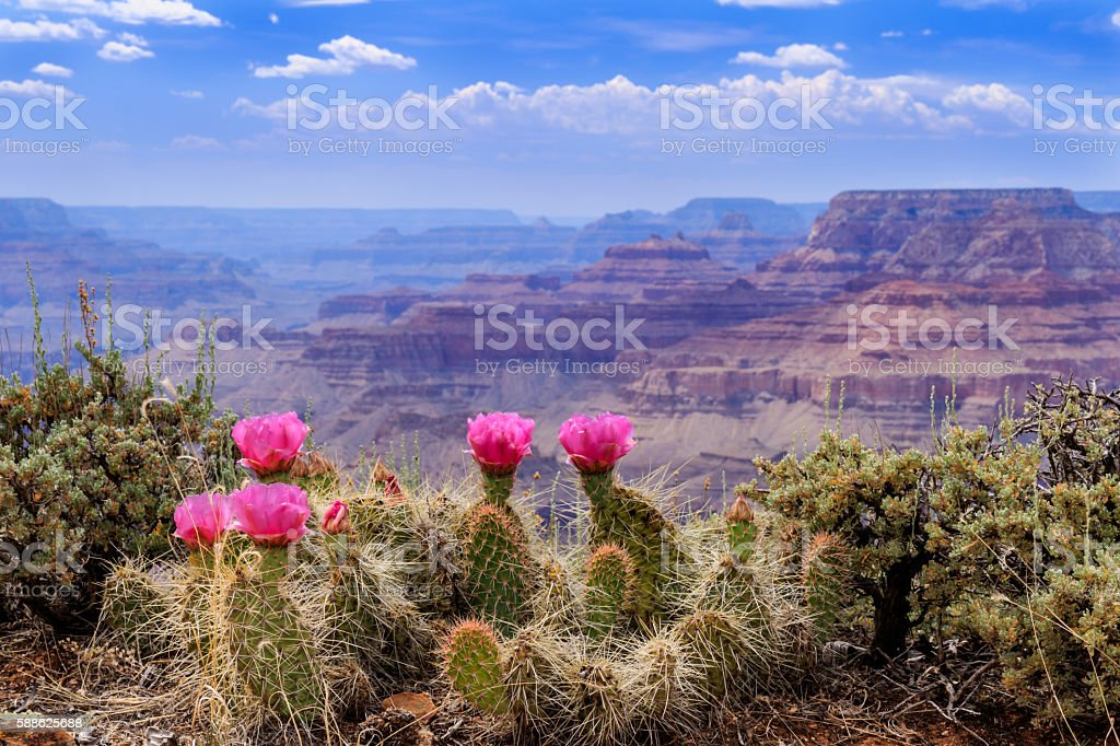 Prickly Pear Cactus Blooms on the Grand Canyon Rim. stock photo