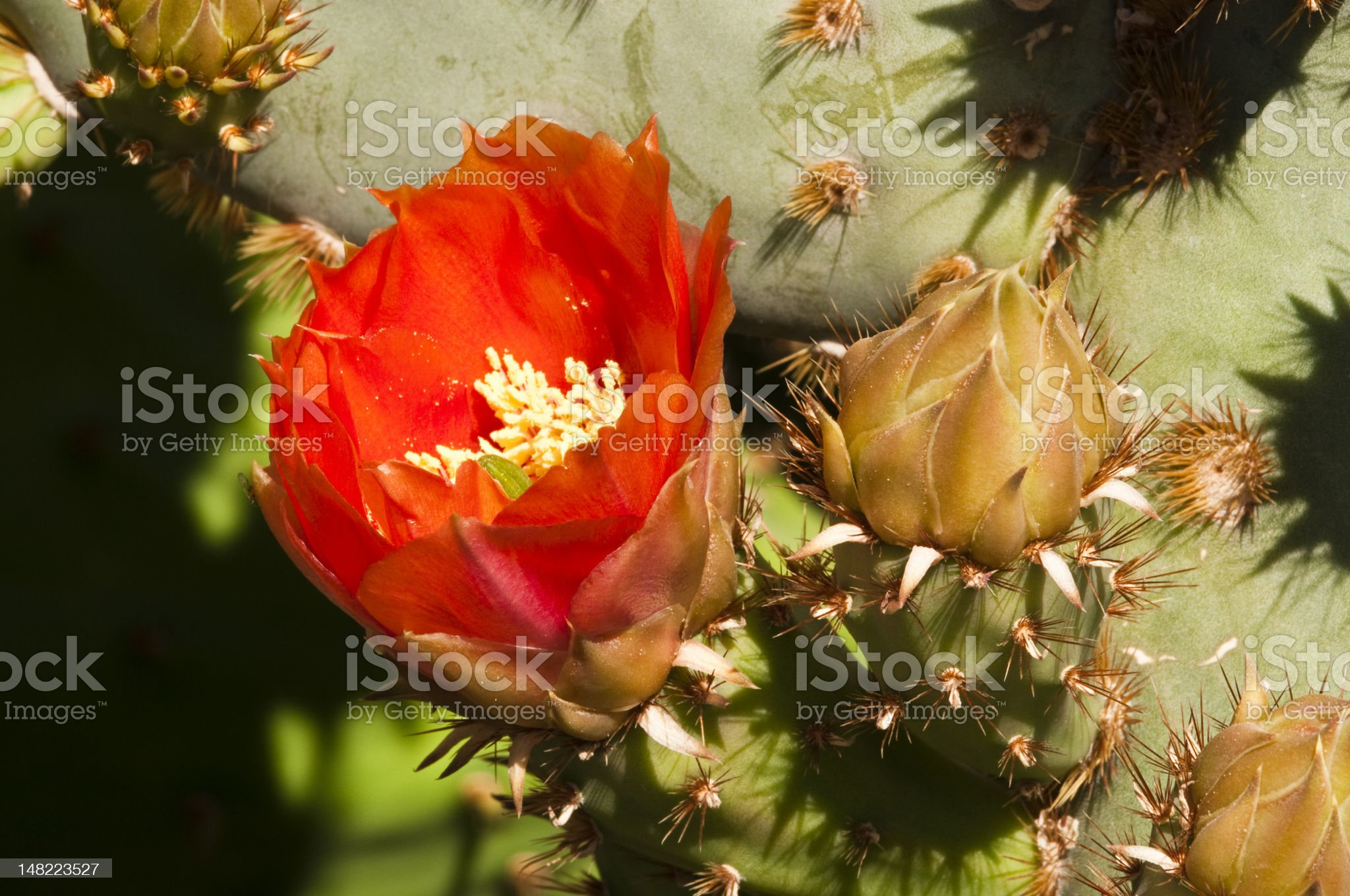 prickly pear cactus blossoms royalty-free stock photo