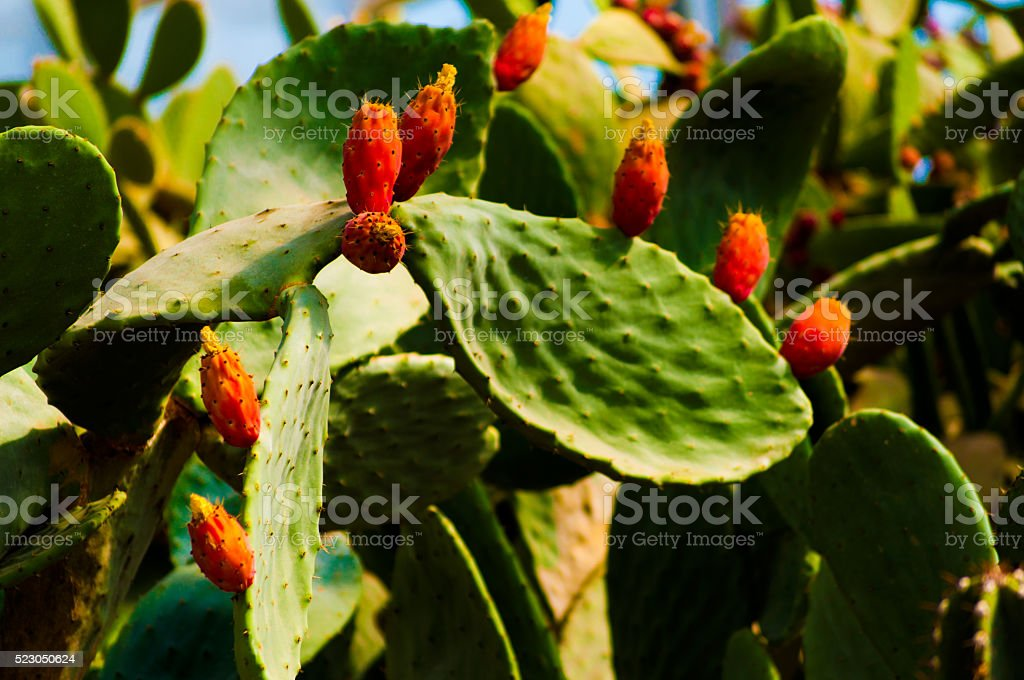 Prickly pear cactus close up with fruit in red color, stock photo