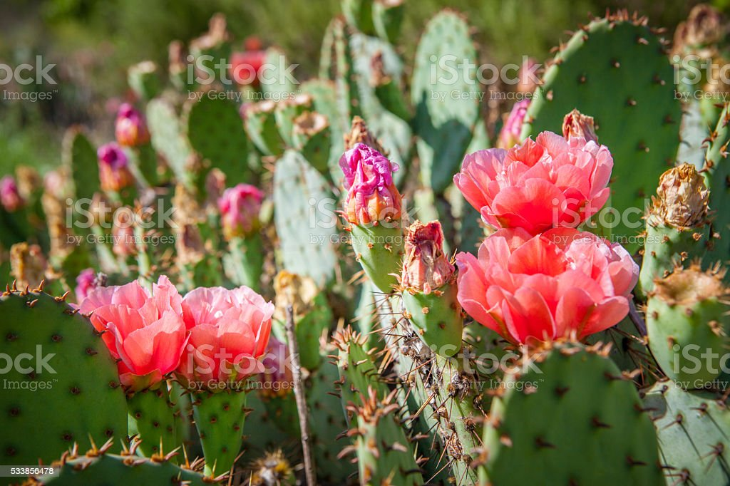 Prickly Pear Cactus Flowering royalty-free stock photo
