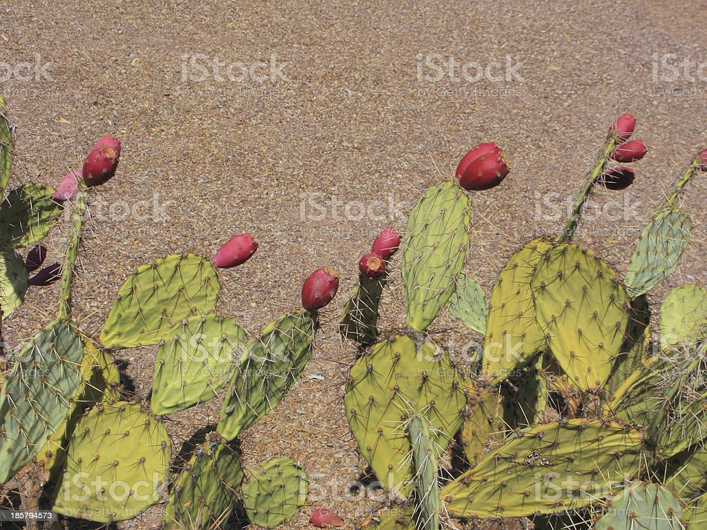 Prickly Pear Cactus Fruits royalty-free stock photo