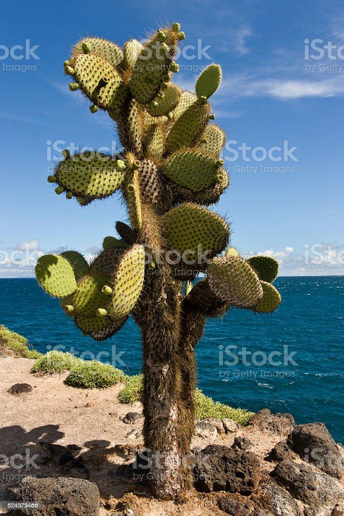 Prickly Pear Cactus - Galapagos Islands stock photo