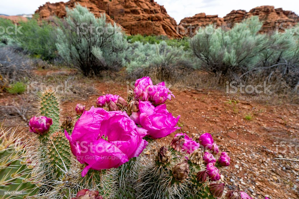 Prickly Pear Cactus in Bloom Snow Canyon stock photo