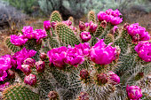 Prickly Pear Cactus in Bloom Snow Canyon
