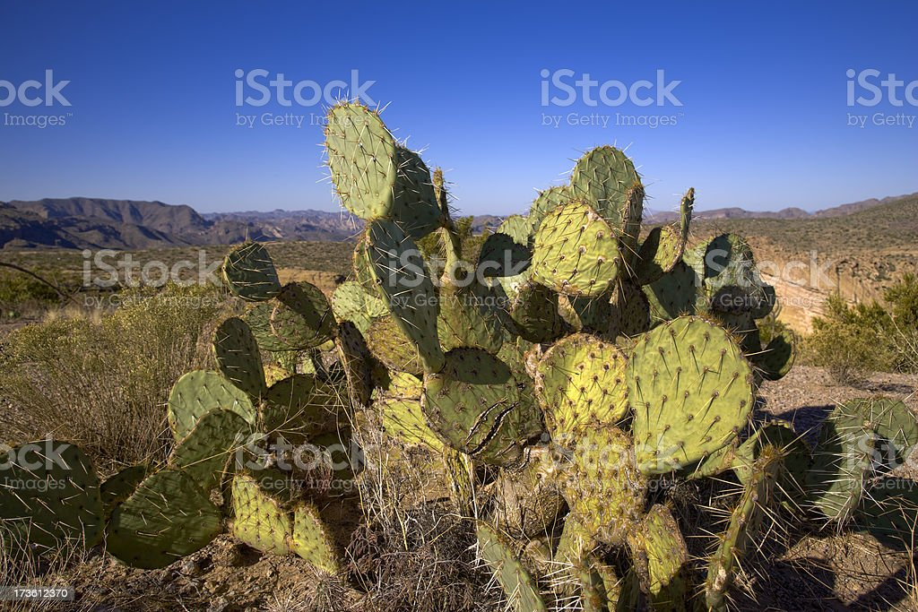Prickly Pear Cactus in the Desert royalty-free stock photo