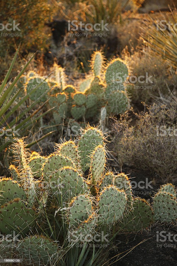 Prickly Pear Cactus in the Sunset stock photo