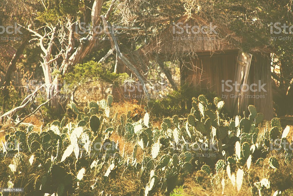Prickly pear cactus, old shed in Texas Hill Country, USA. stock photo