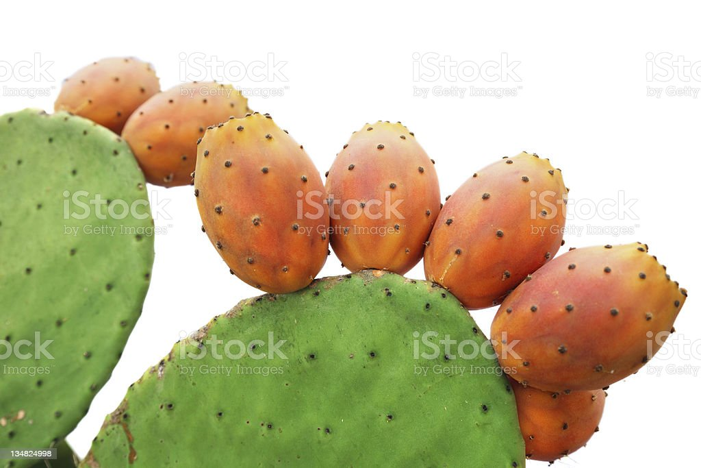 A prickly pear cactus on a white background  stock photo