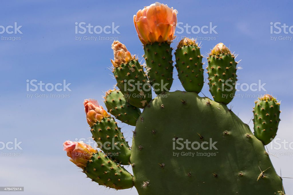 Prickly Pear Cactus - Opuntia - in flower royalty-free stock photo