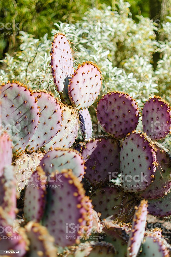 Prickly Pear Cactus stock photo