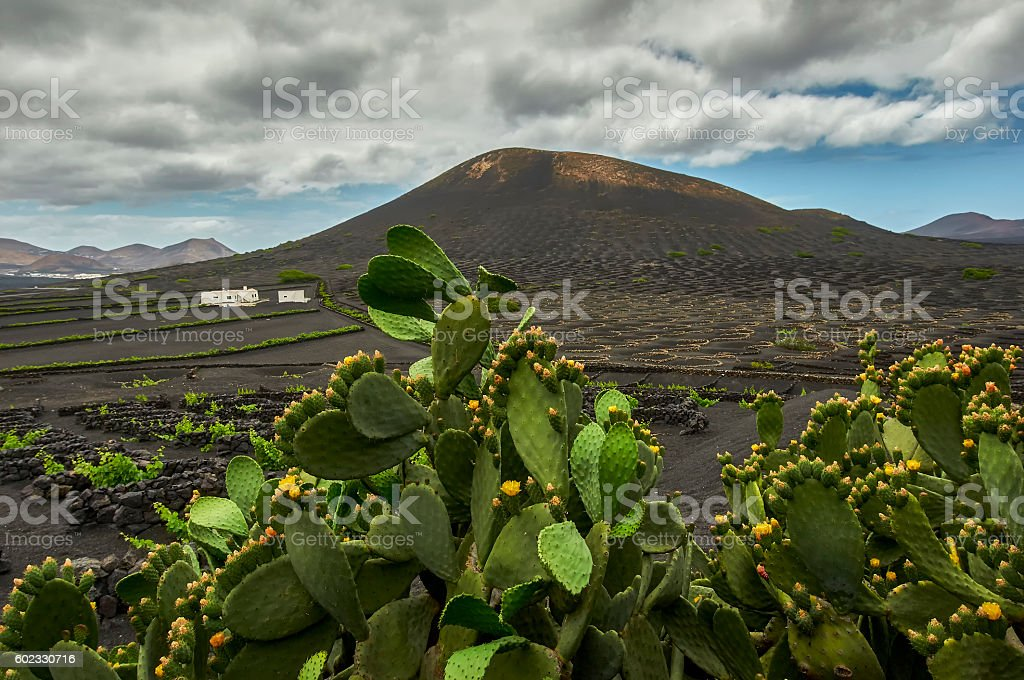 Prickly pear cactus plant in a field stock photo