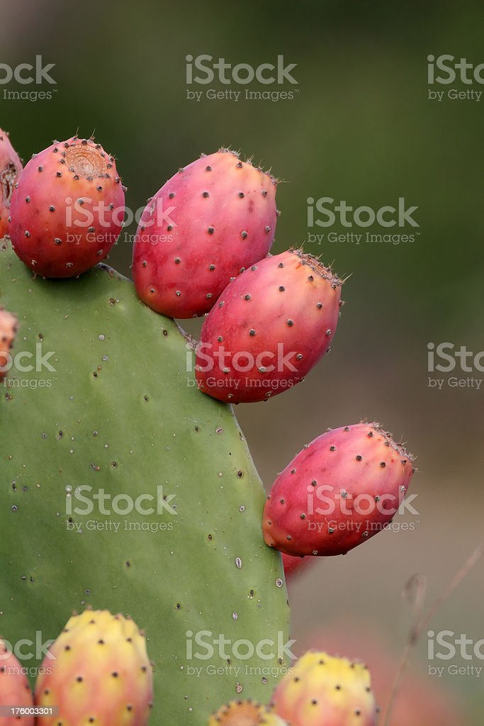 Prickly Pear Cactus with Red Fruit stock photo