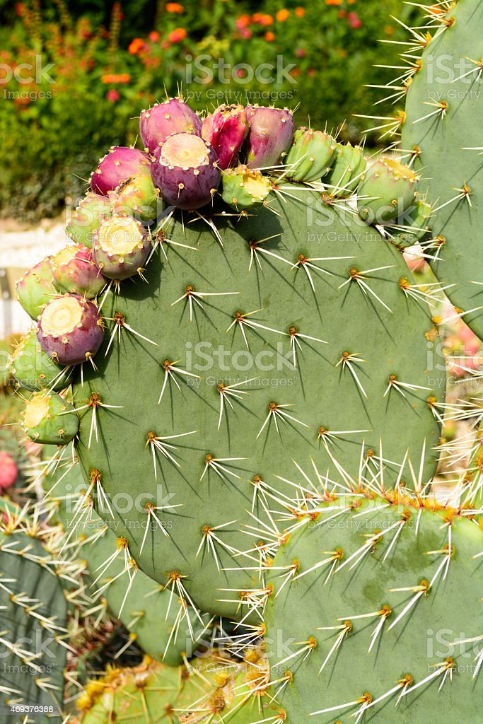 Prickly Pear cactus with summer fruits, Balchik, Bulgaria stock photo
