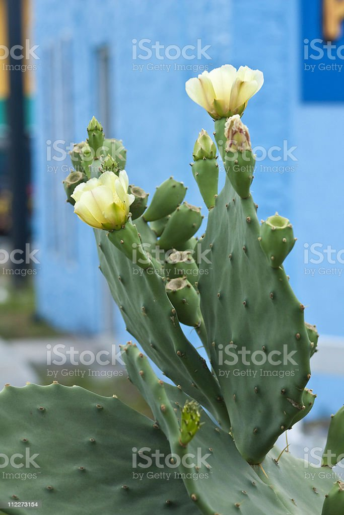 Prickly Pear Flowers stock photo