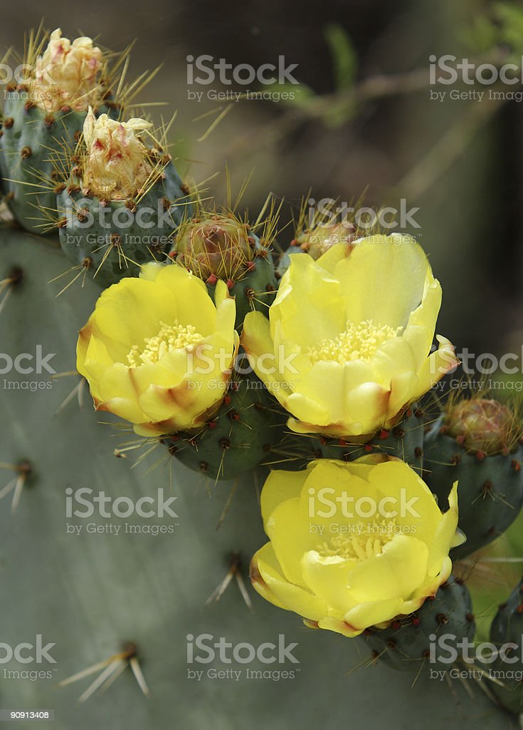 Prickly Pear Flowers royalty-free stock photo